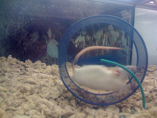 Pet store mouse running on wheel | by Chris Devers