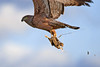 Spotted harrier with quail by wildphotos4u