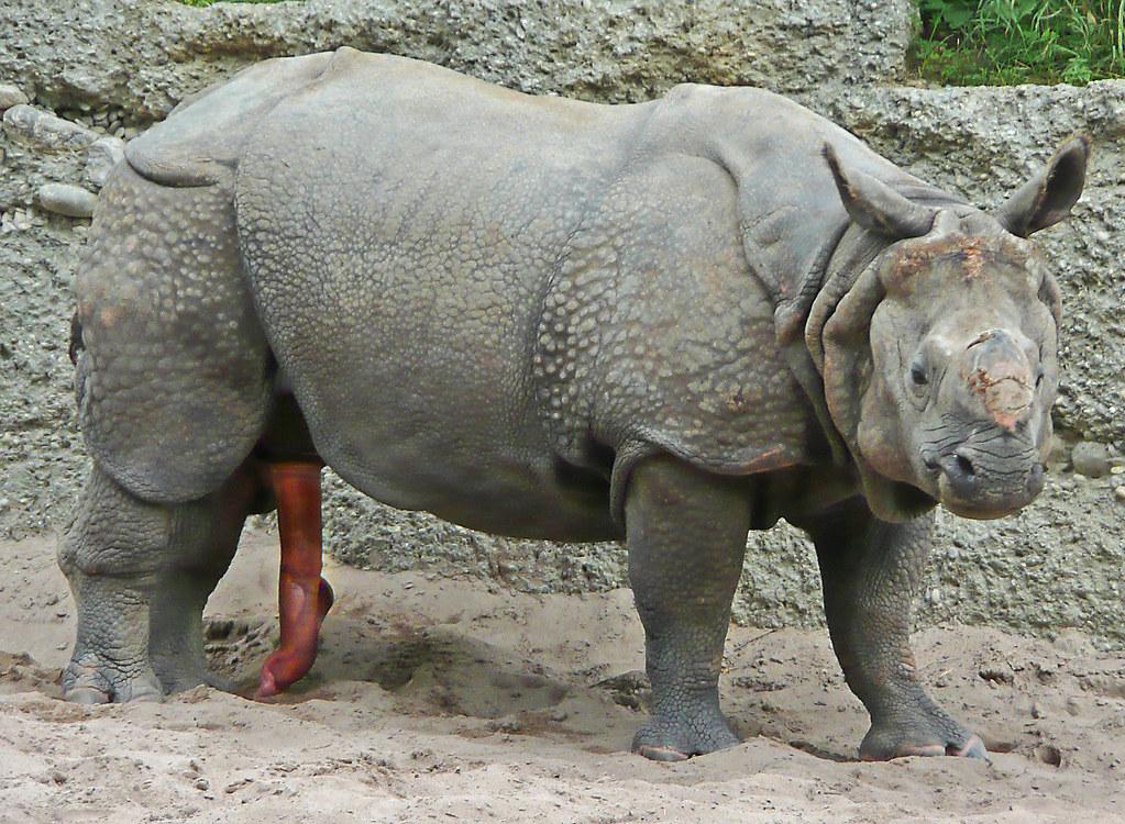 Ringo the rhino star