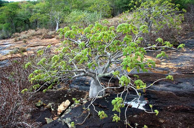 Pachypodium - Andohahela