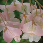 Begonia / ベゴニア