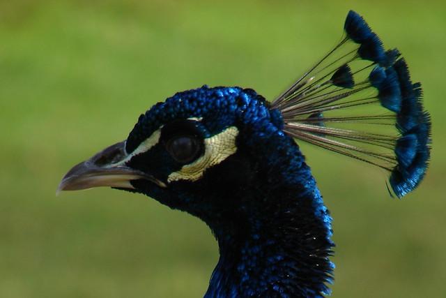 Peacock in Kew Gardens