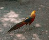 Golden Pheasant (Chrysolophus pictus) by Sean Paul Kelley