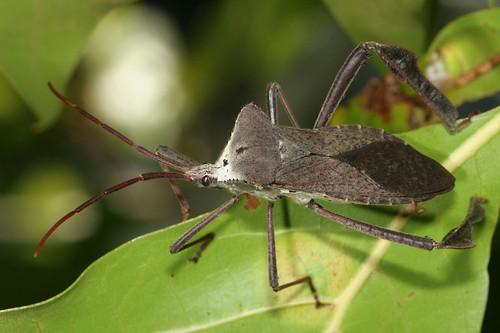 insect coast northcarolina eol coreidae hemiptera heteroptera leaffootedbug acanthocephala canonef100mmf28macrousm carolinabeachstatepark acanthocephaladeclivis taxonomy:binomial=acanthocephaladeclivis