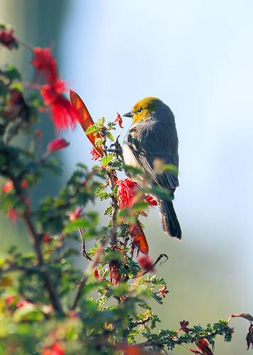 arizona bird phoenix soe desertbotanicalgarden wildflowertrail verdin dbg blueribbonwinner mywinners natureselegantshots jhaskellus jhaskell jackhaskell virtualjourney