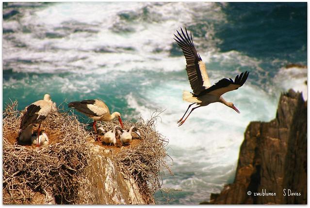 Storks at Cabo Sardão