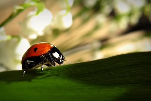 red macro green nature canon insect leaf lily maria images ladybird ladybug sue vantaa lehti luonto laakso punainen kukka hyönteinen vihreä southernfinland kielo leppäkerttu platinumphoto canonpowershota710is sue323