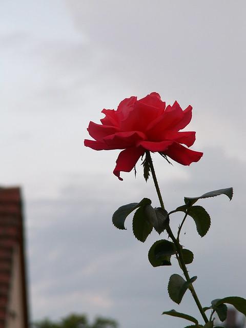 Rose die Blume der Erinnerung im Traum durchaus Nichts sei als Lüge und Schaum, doch wahrlich giebt es Träume wohl die mehr sind als nur Schäume hohl, die sich erfüllen in Wirklichkeit. Auch ist berühmt in alter Zeit ein Mann, der Träume als eitel nicht erkannt 025