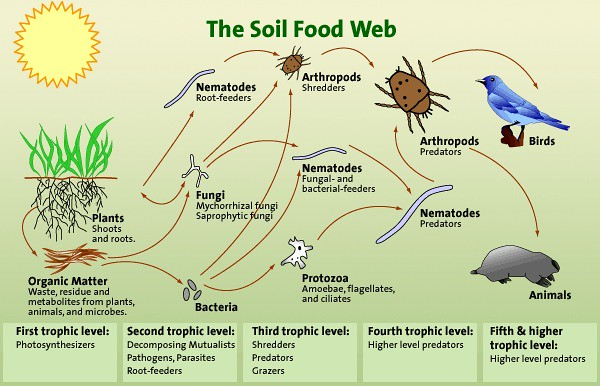 What does the arrow represent on this food web