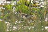 Lesser Jacana (Microparra capensis) by macronyx