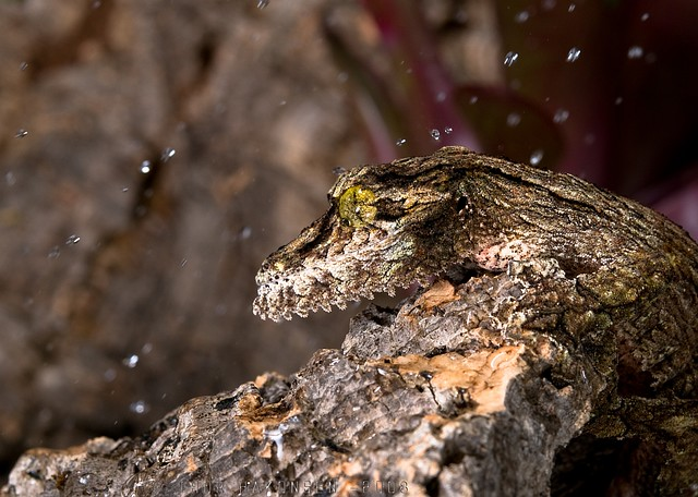 Uroplatus sikorae - Mossy Leaf-tailed Gecko