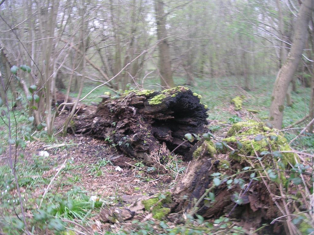 Rotten log Upper Warlingham to Hayes