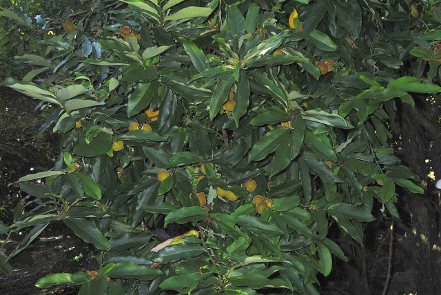 柿樹科 柿樹屬 毛柿 (葉果1) 鵝鑾鼻公園 Diospyros philippensis