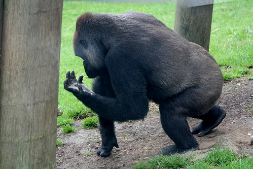 Lowland Gorilla | by Eoin C