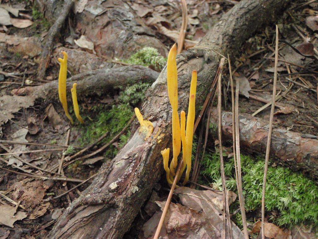 Yellow tuning fork  Caleocera viscosa Sept 21 2008 in woods