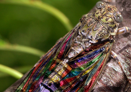 art closeup bug cicada insect french stainedglass bugs vitrail sudfrance cherrytree cigale insecte cerisier buzznbugz macromarvels theperfectphotographer naturallymagnificent saglier beautifulmonsters spectacularmacro notyournormalbug dragondaggerphot remysaglier frenchcicada