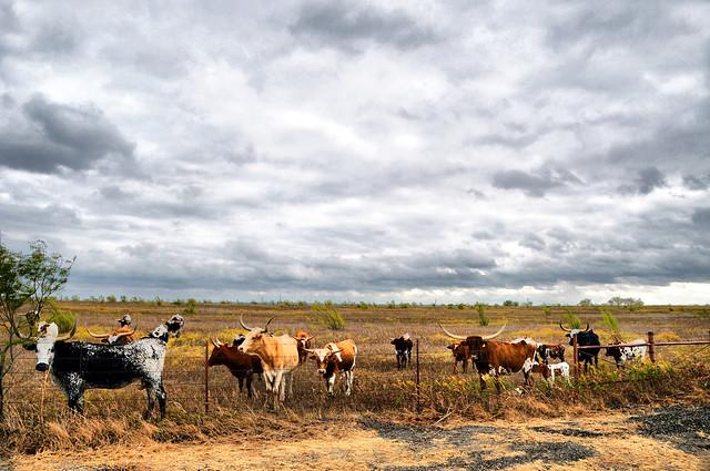 DSC_8399 Longhorn Cattle Herd Venus Texas Field Cattle Horns Calf Calves Sky Clouds Storm Autumn Fall Grass Rural Countryside Landscape Photography