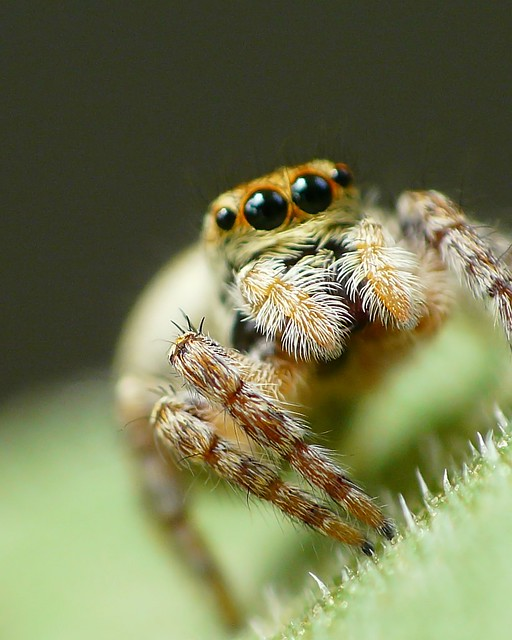Jumping spider by FZ18/DCR250
