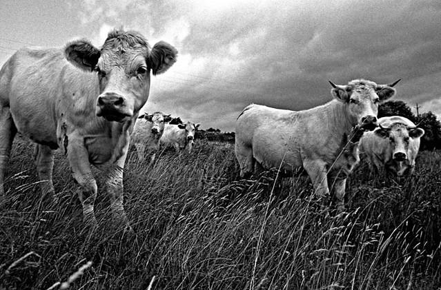vaches-sous-orage