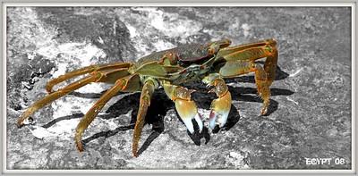 Crab - Yengec - Krebs - Ècrevisse