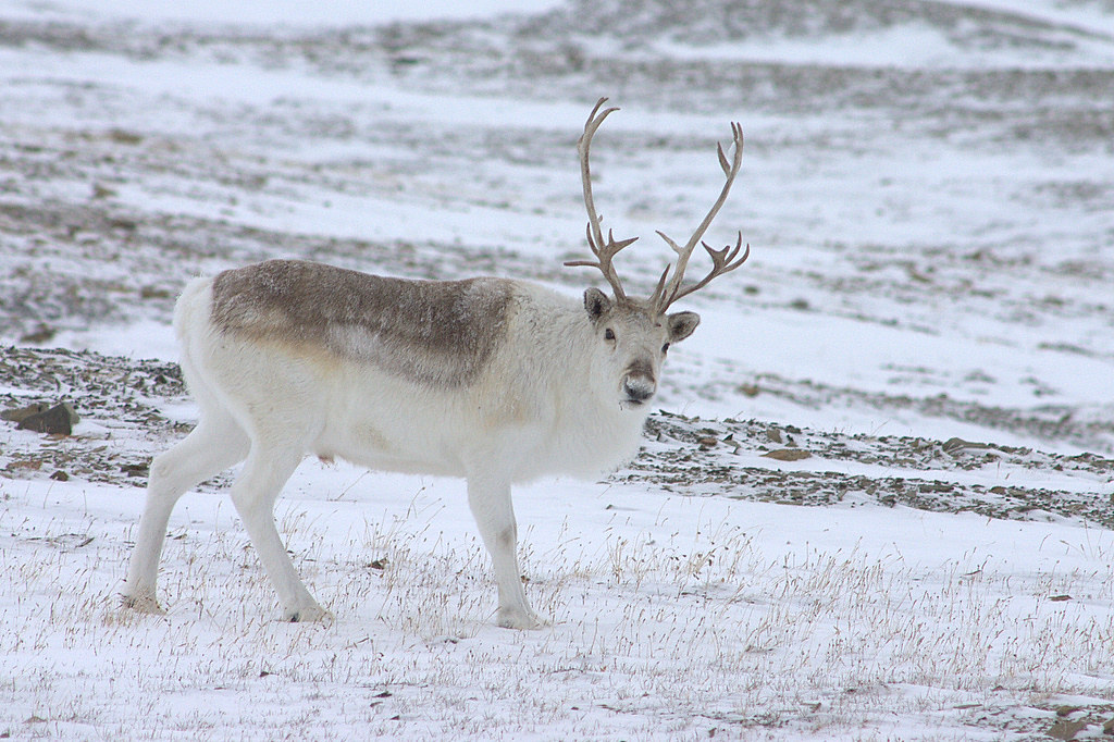 All sizes | Peary Caribou | Flickr - Photo Sharing!