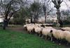 Shooting sheep by Giulia (giuli@)