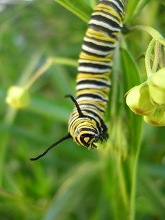 Monarch Caterpiller eating | by Lynda W1