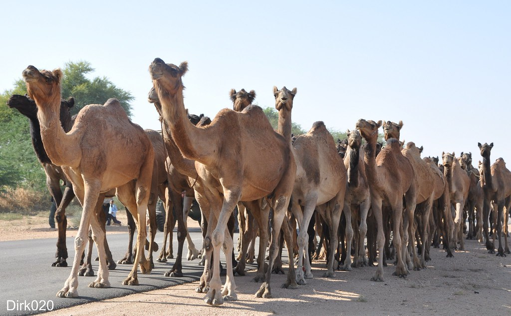 camels along the highway in Rajestan India | camels passing