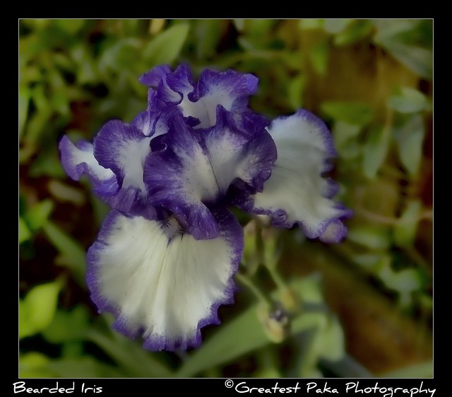 Bearded German Iris (Iris germanica)