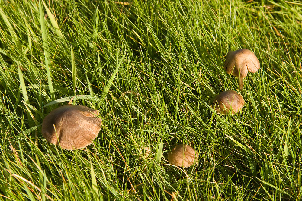 Inkcaps in the grass of Penshurst Place