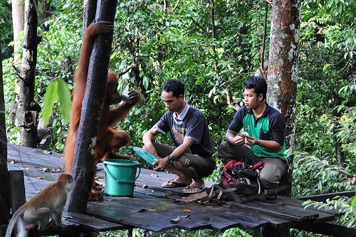 Bukit Lawang - Leuser Platform Feeding | by Drriss & Marrionn