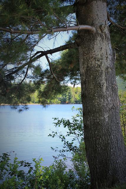 pine tree and lake
