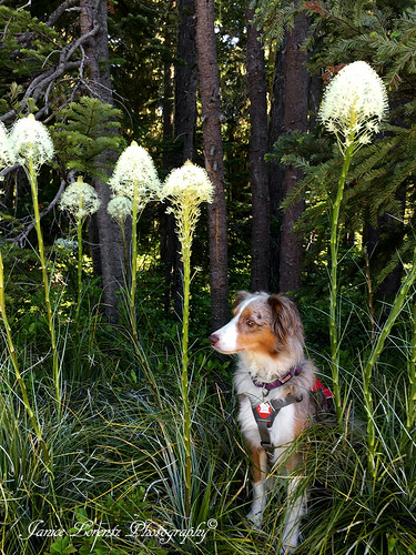 Miss Ellie in the Bear Grass | by Janice L