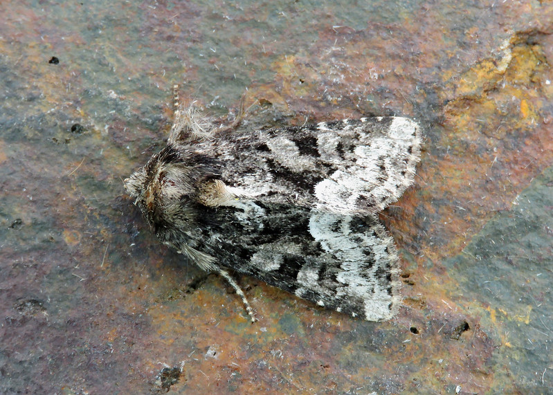 73.173x Marbled Minor - Oligia strigilis agg.