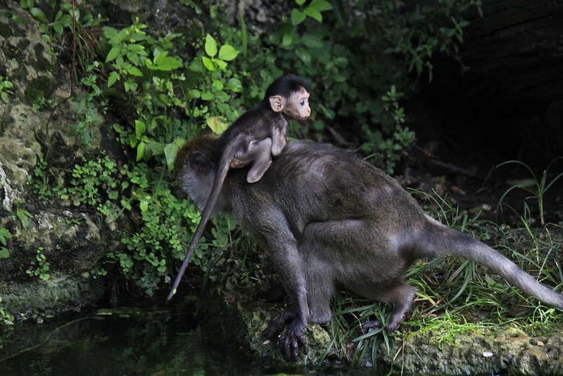 Bebe mono en Miami