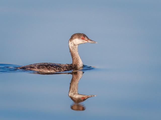 Horned Grebe, non-breeding.
