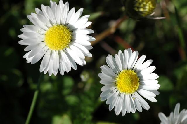 abril 2008 130 Margarida alpina (Chrysanthemum alpinum)