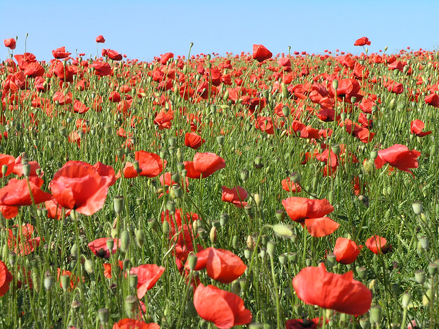 Sea of poppies 4