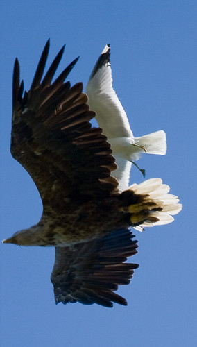 White-tailed Eagle attacked by a Mew Gull | by tomsun