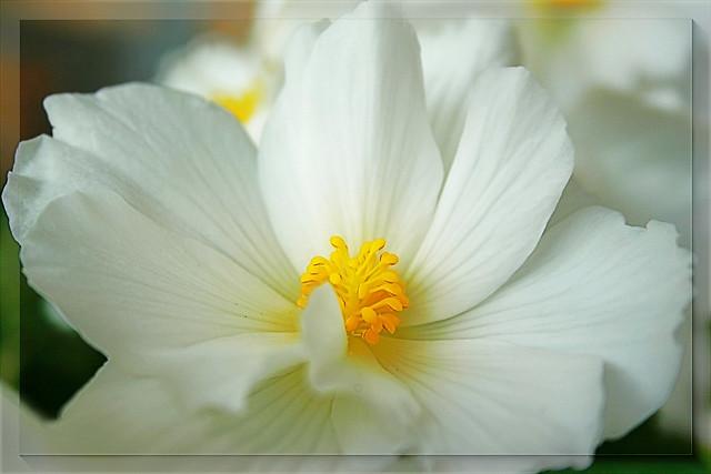 White Queen- Begonia