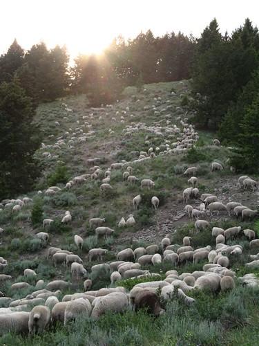 sunset sheep idaho sunvalley bigwoodrivervalley defendersofwildlife defendersmyw072908 oregongulch defendersorg