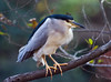 Black-capped Night Heron on Perch by aeschylus18917