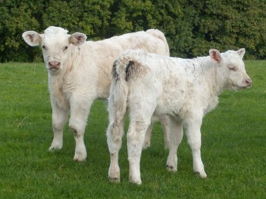 Calves - back to earth. Balcombe Circular via Ardingley Reservoir (summer walk)