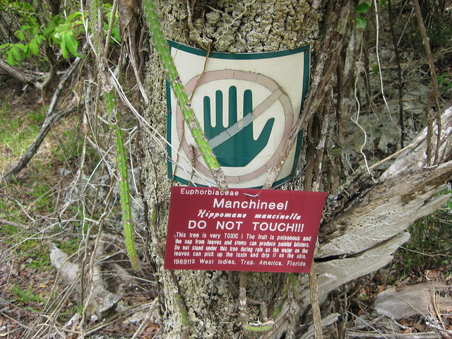 Do not touch the Manchineel!