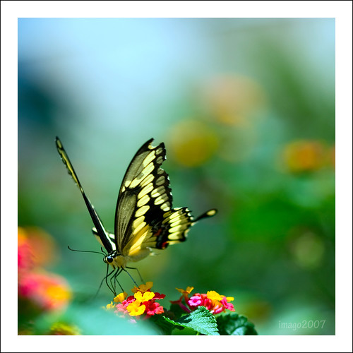macro museum canon garden photography virginia fly losangeles wings butterflies v caterpillars rebelxt lantana naturalhistorymuseum flutter virgie 100mmmacro pavilionofwings bokehlicious pinoykodakero imago2007 inspiredbyhim litratistakami