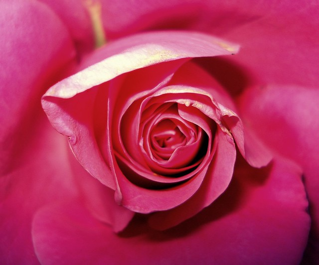 The centred rose