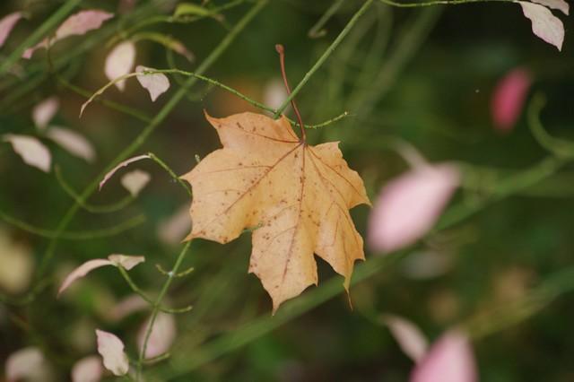 Autumn leaf in Speyer park