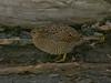 Brown Quail (Coturnix ypsilophora) by David Cook Wildlife Photography