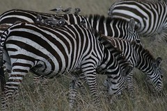 Zebras   by krosinsky