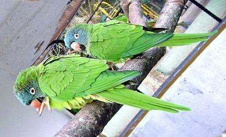 Resultado de imagen para Conures Corona Azul